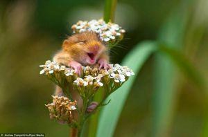 soricelul-care-rade-de-bucurie-ca-a-venit-primavara-si-stranuta-cand-da-de-polenul-unei-flori_1